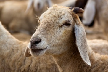 Lamm, Schaf, Tier